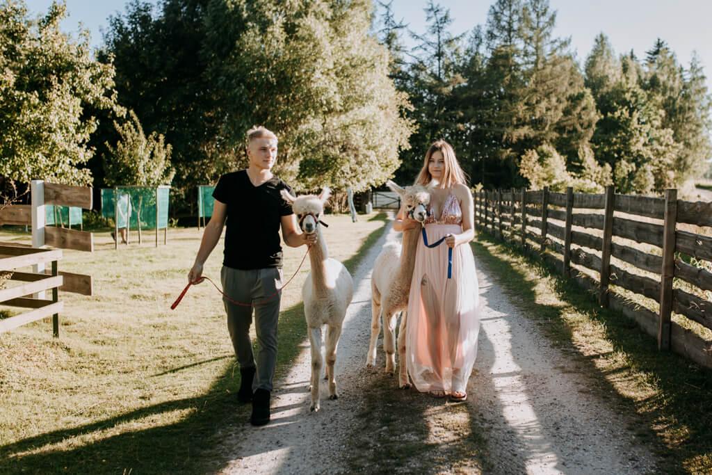 sesja ślubna z alpakami (11)