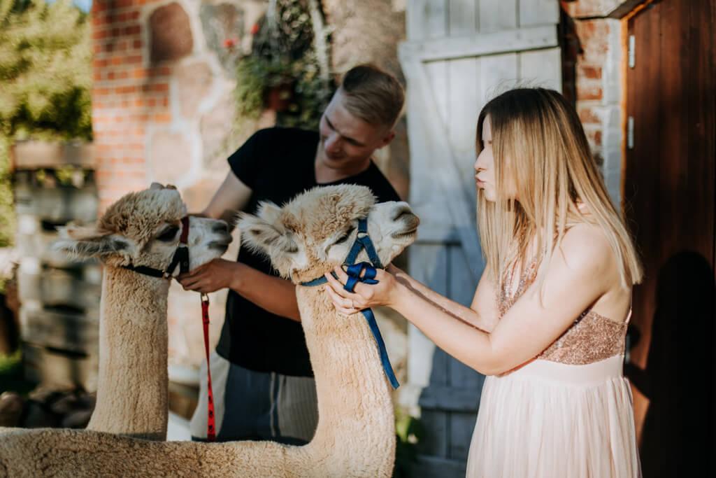 sesja ślubna z alpakami (12)