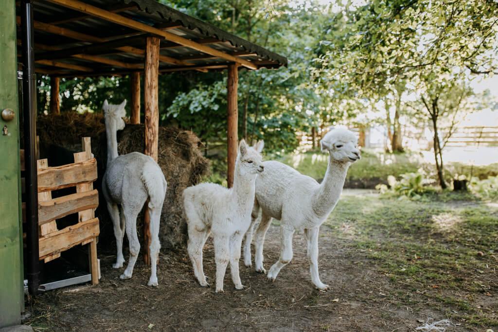 sesja ślubna z alpakami (16)