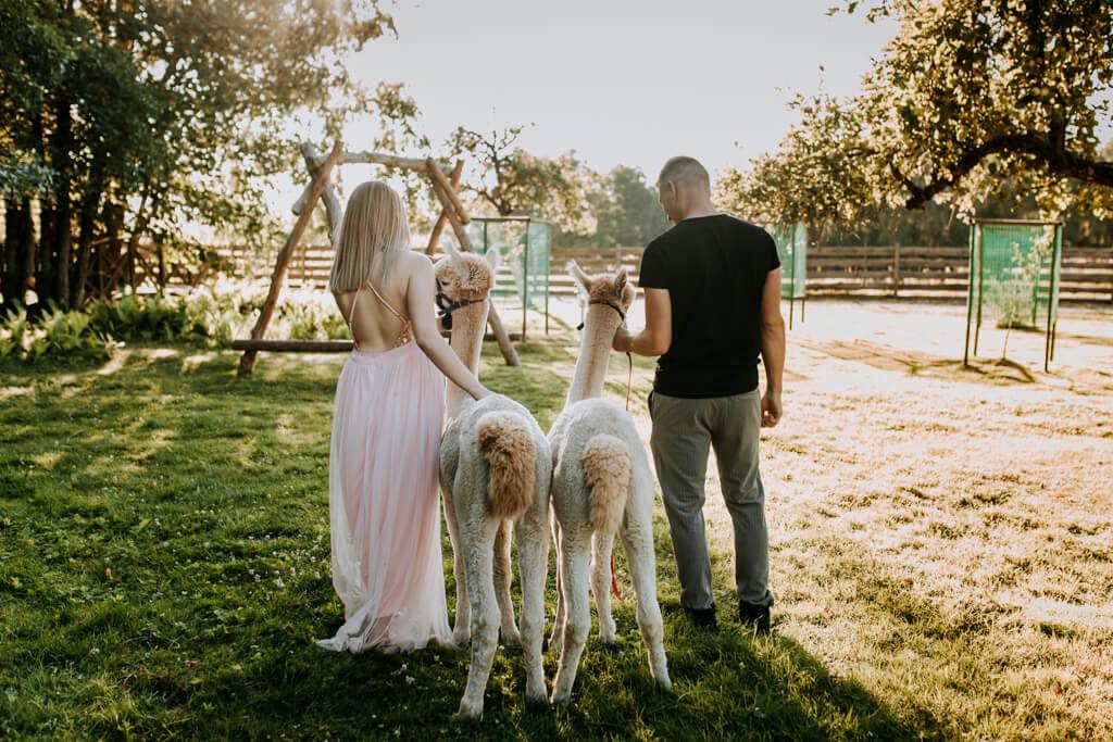 sesja ślubna z alpakami (9)